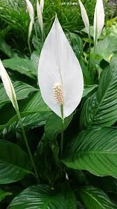 Caring for your Office Peace Lily2